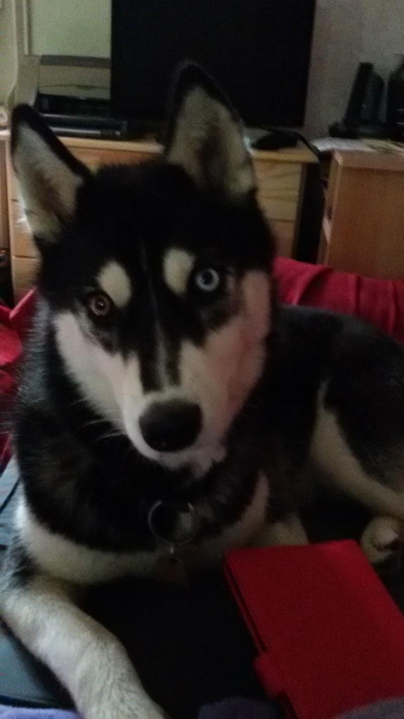 IENA RENOMMEE LILOU Husky femelle 14 mois PART27 ADOPTEE 20140810