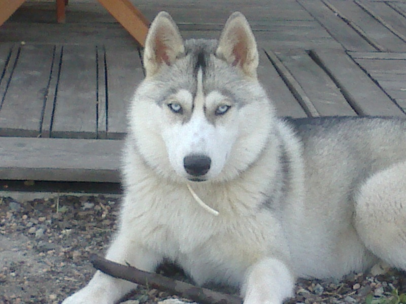 HELLO et HOOPS 2 femelles huskies 3 ans PART03 ADOPTEES Photos11
