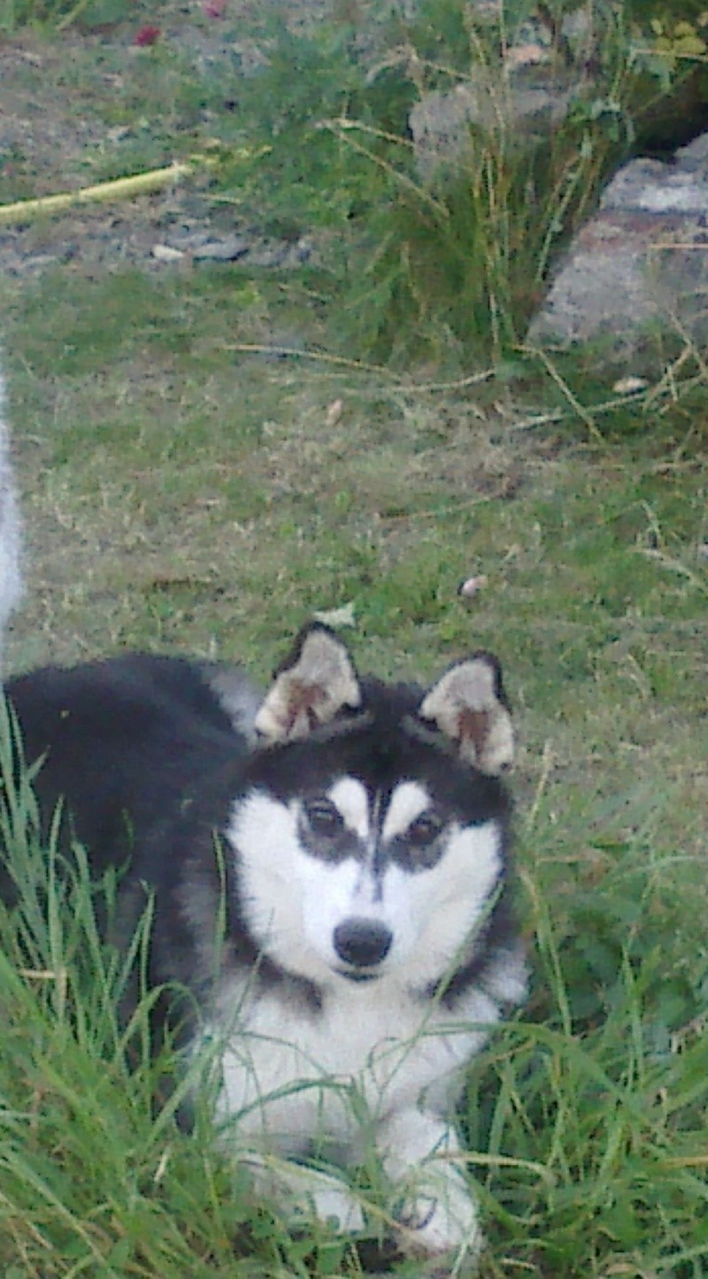 HELLO et HOOPS 2 femelles huskies 3 ans PART03 ADOPTEES Photos12