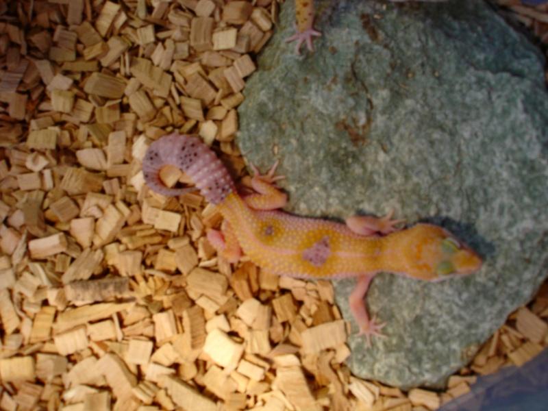 Mes Geckos Léopards Dsc01212