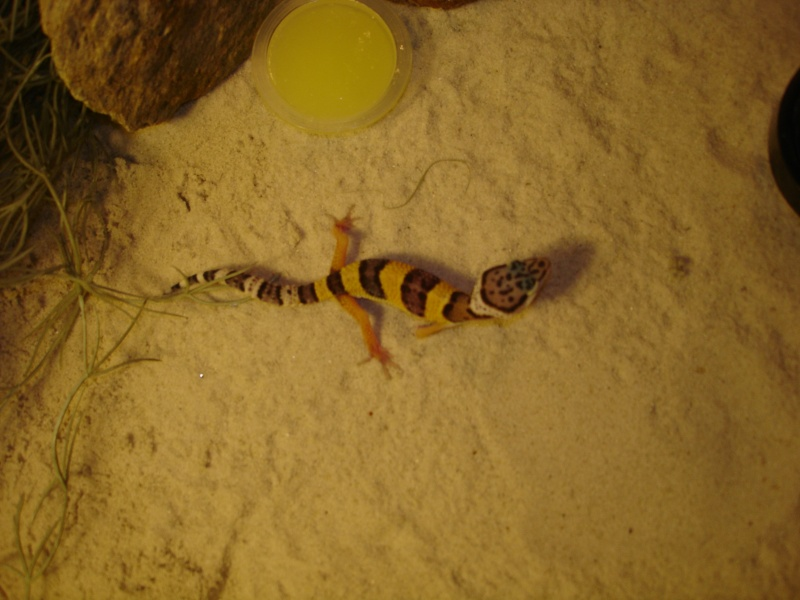 Mes Geckos Léopards Geckos11