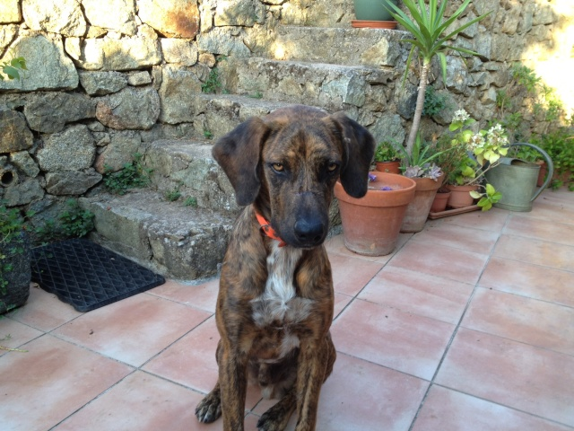 Corsinu mâle trouvé le 6 août, volé le 31 août 2012 à Ville di Paraso (Haute Corse) RETROUVE Lerrou10