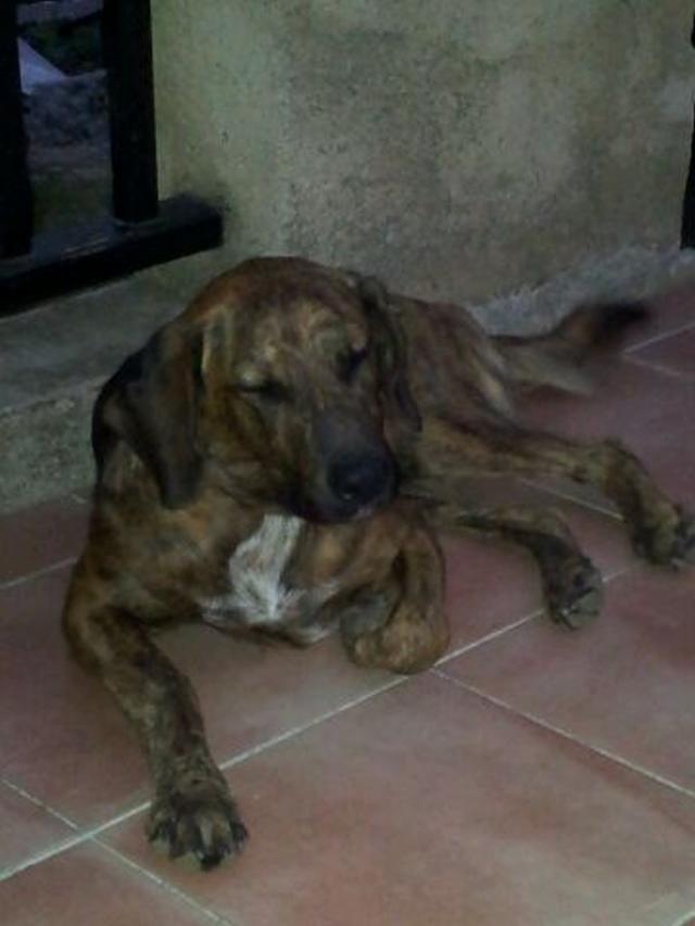 Corsinu mâle trouvé le 6 août, volé le 31 août 2012 à Ville di Paraso (Haute Corse) RETROUVE Lerrou11