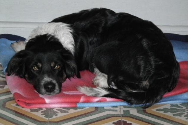 lili, femelle X border 2 ans 1/2 - adoptée Lili10