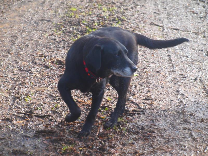 Suzy, petite croisée labrador noire de 14 ans - Page 4 P2231410