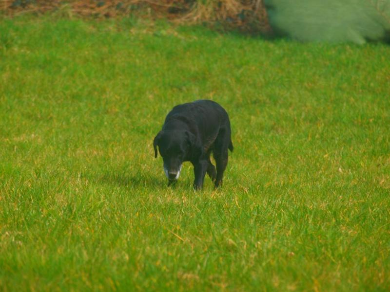 Suzy, petite croisée labrador noire de 14 ans - Page 4 P3031611