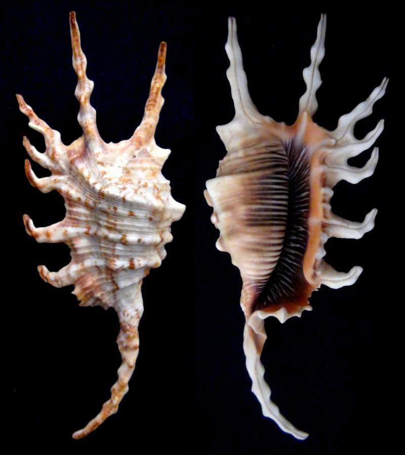 Lambis scorpius indomaris - Abbott, 1961 8doigt10