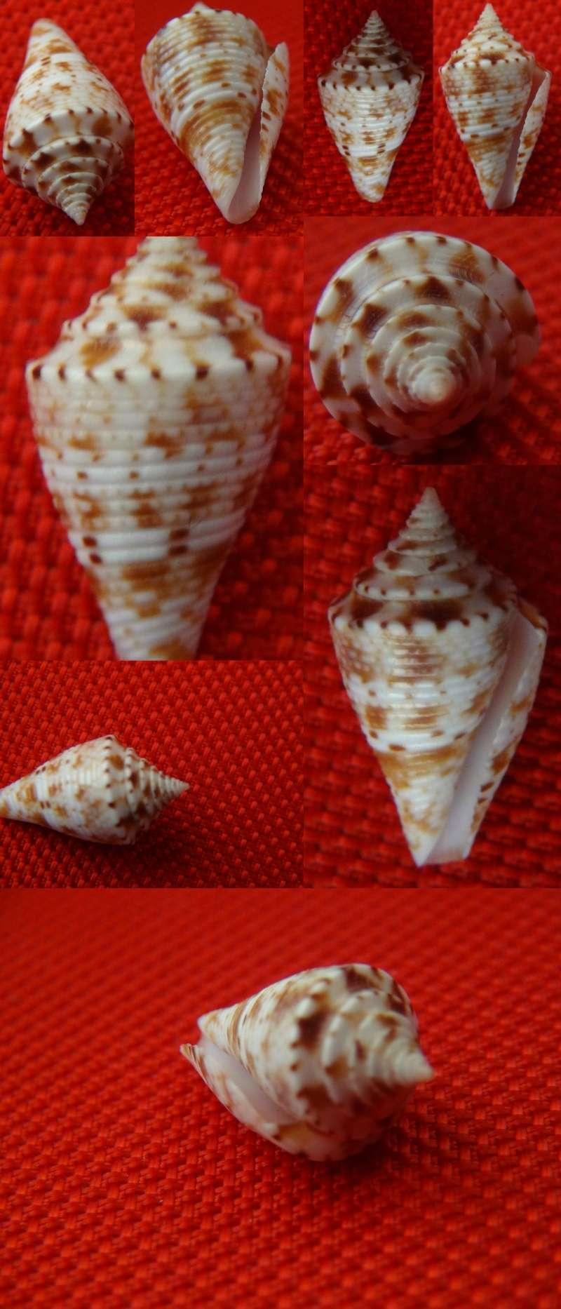 Conus a identifier = Conus memiae A_iden10