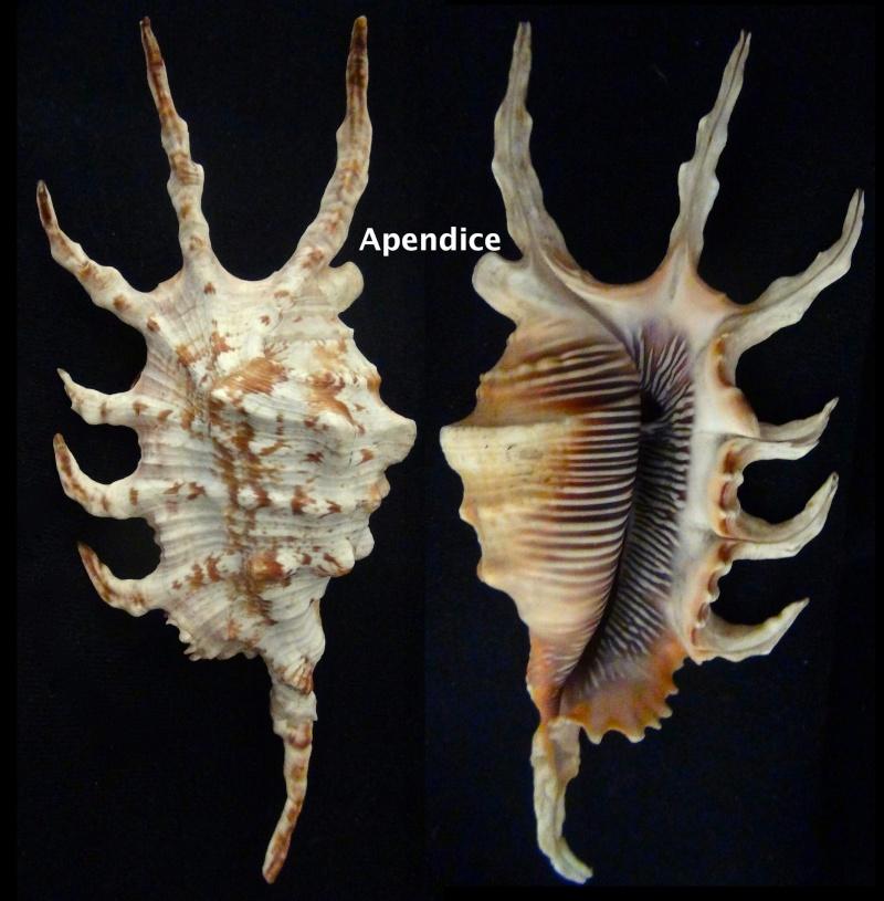 Lambis scorpius indomaris - Abbott, 1961 Apendi10