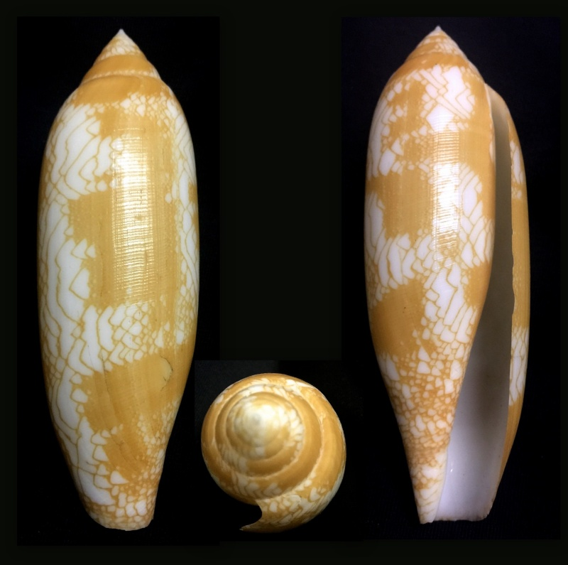 Conus (Darioconus) auratinus da Motta, 1982 Aurati10
