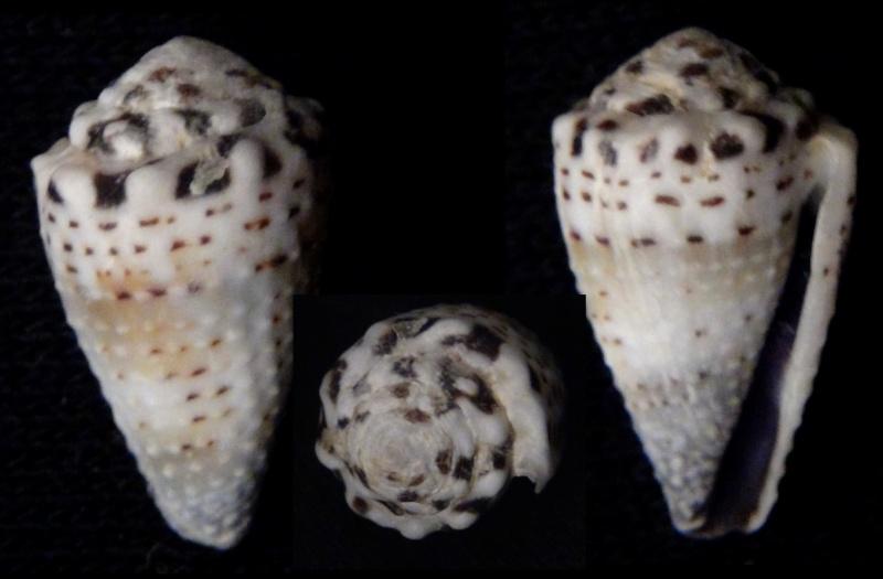 Conus (Harmoniconus) ceylanensis (Hwass in Bruguière, 1792) voir Conus (Harmoniconus) musicus  Harmon10