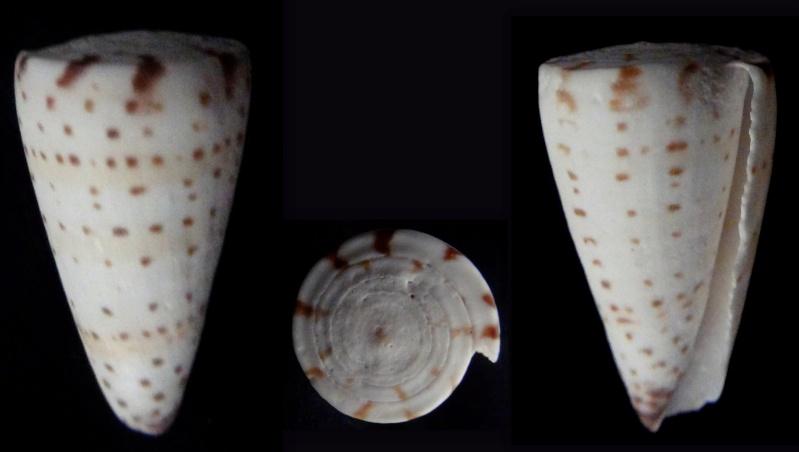 Cone a identifier = Conus litteratus Identi11