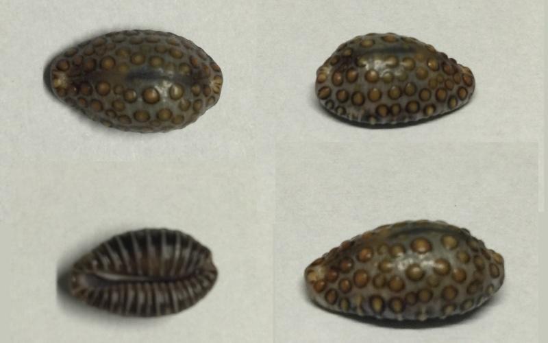 Identification Cypraeidae Jenner10