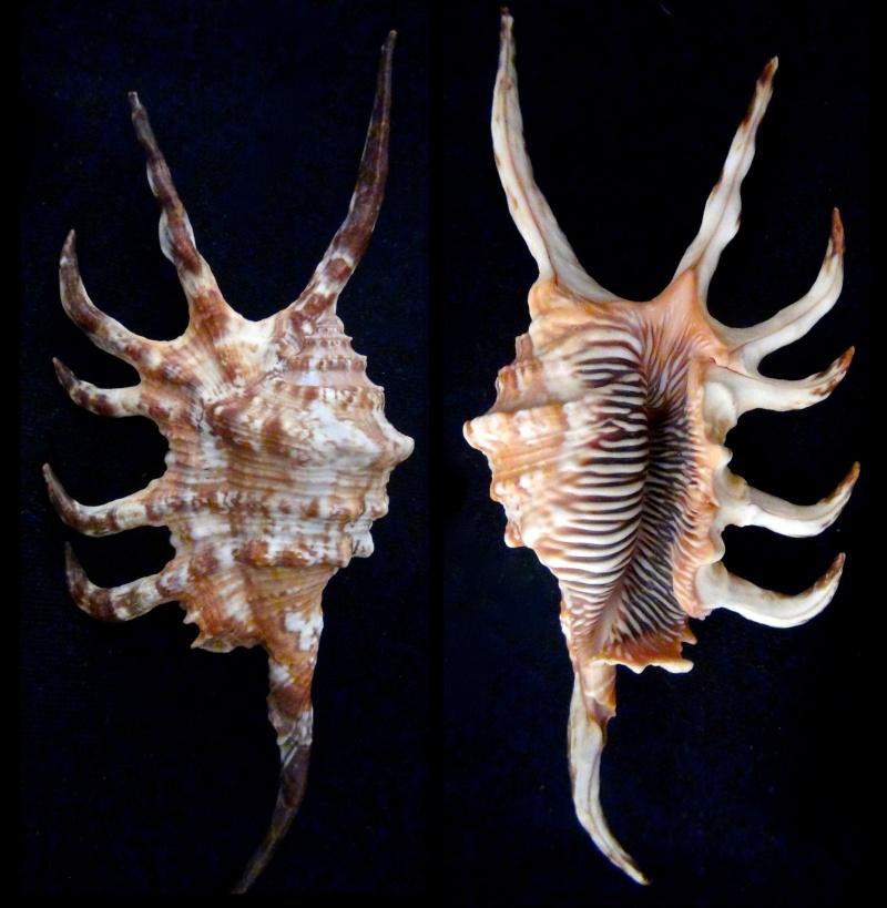 Lambis scorpius indomaris - Abbott, 1961 Lambis13