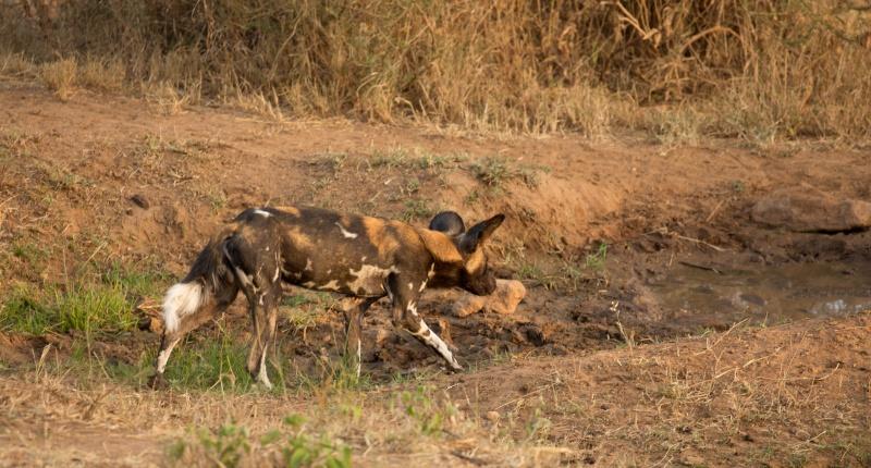 Northern Kenya safari - January 2015 - Page 2 Ou5a1513