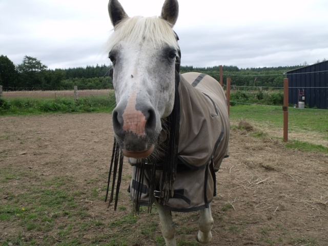 TRIVOLITE dite TULIPE - poney née en 1985 - adoptée en mai 2012 par Malou50 Chevau43