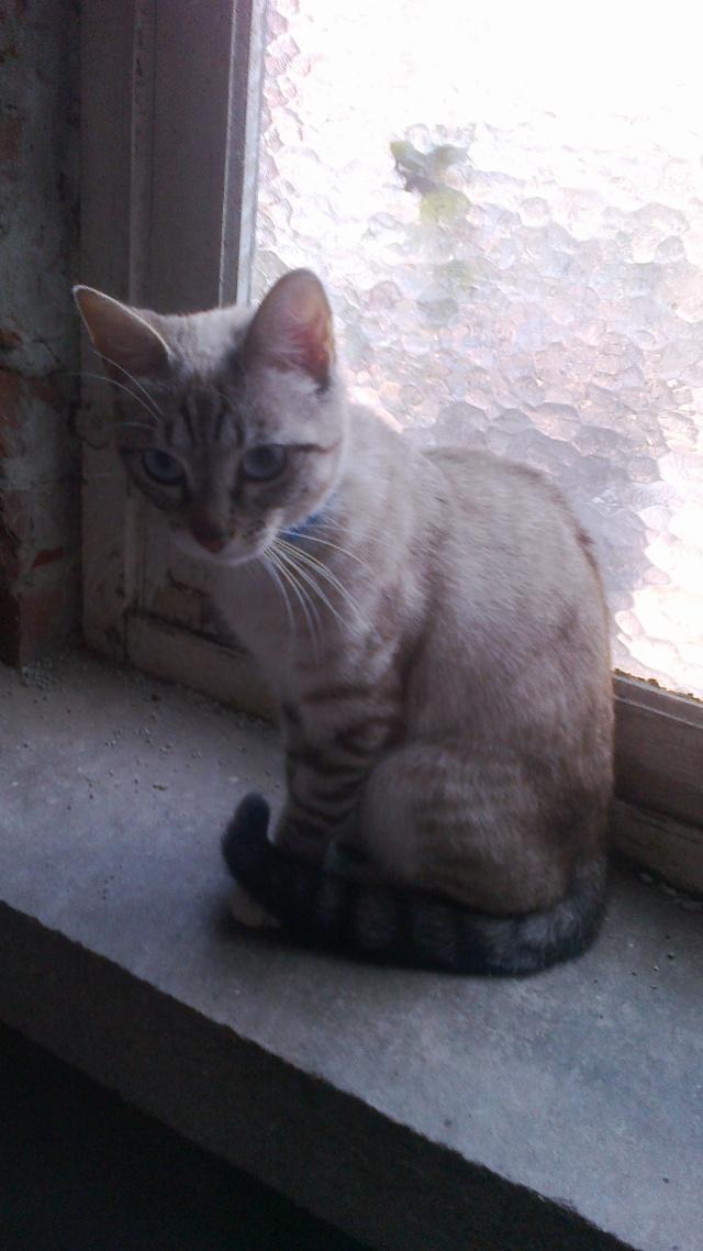 BANJO, chaton de 6 mois à l'adoption (59) -R-VV-LBC- F 00410