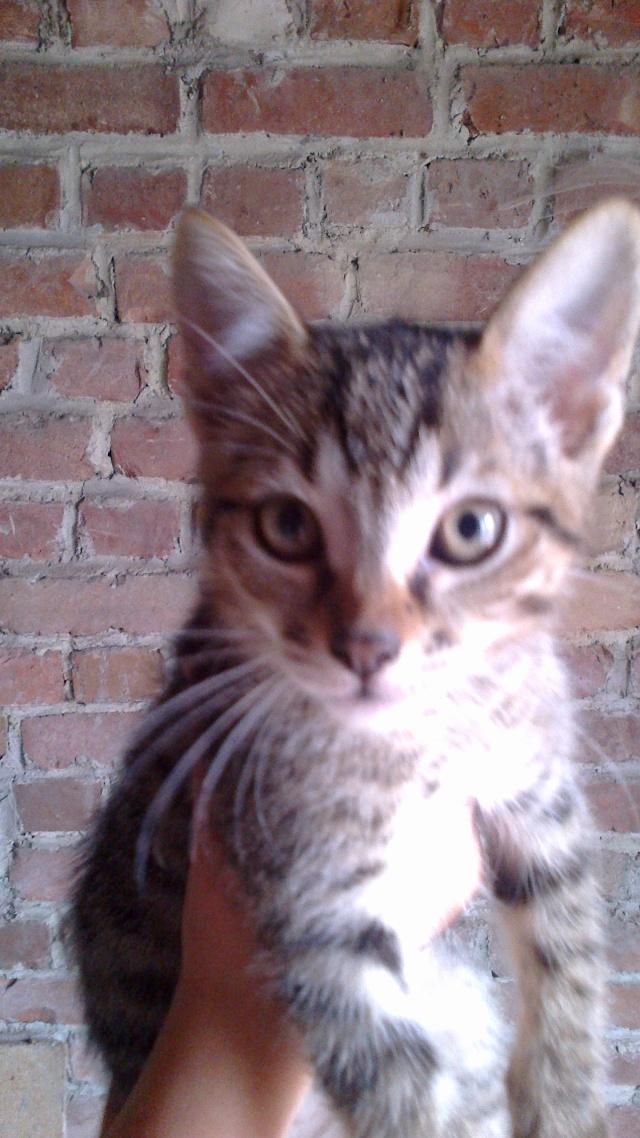 BANJO, chaton de 6 mois à l'adoption (59) -R-VV-LBC- F 00510