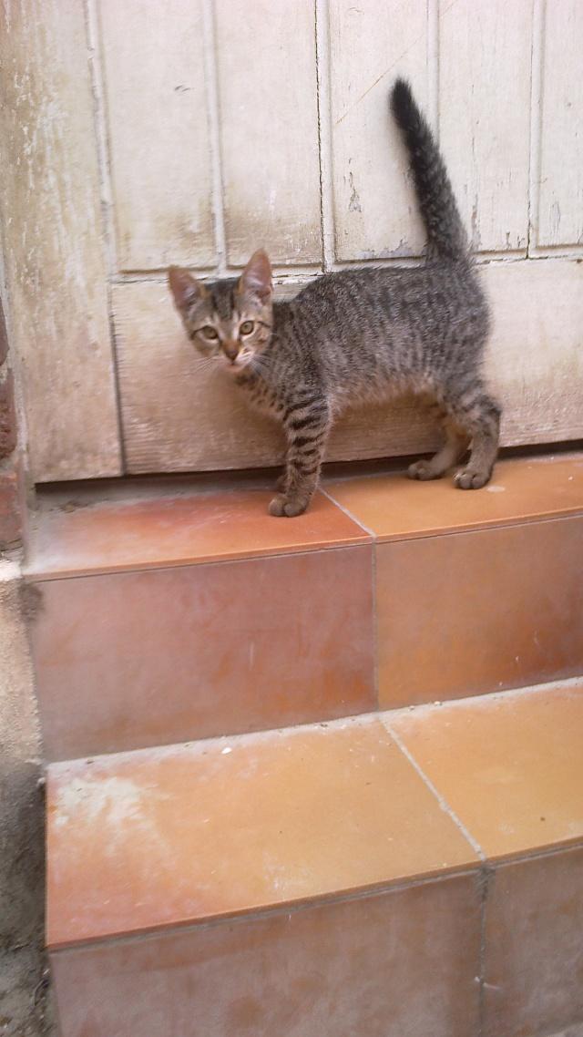 BANJO, chaton de 6 mois à l'adoption (59) -R-VV-LBC- F 015_nr10