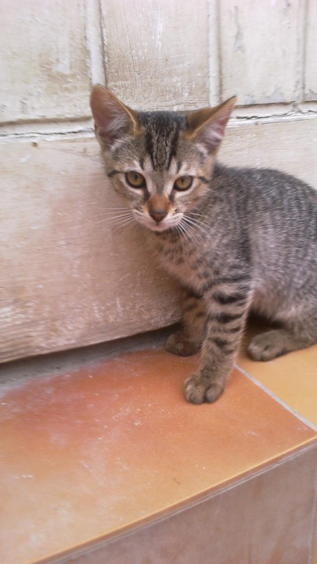BANJO, chaton de 6 mois à l'adoption (59) -R-VV-LBC- F 016ban10