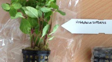 Aide à l'identification d'une plante Hygrop10