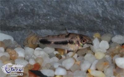 Corydoras habrosus ( Corydoras poivre et sel) Corydo27