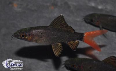 Epalzeorhynchus bicolor (Labéo à queue rouge) Labeo_10