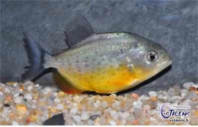 Pygocentrus piraya (Piranha à ventre rouge) Pygoce10