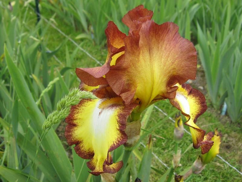 identification d'un iris bicolore Showca10