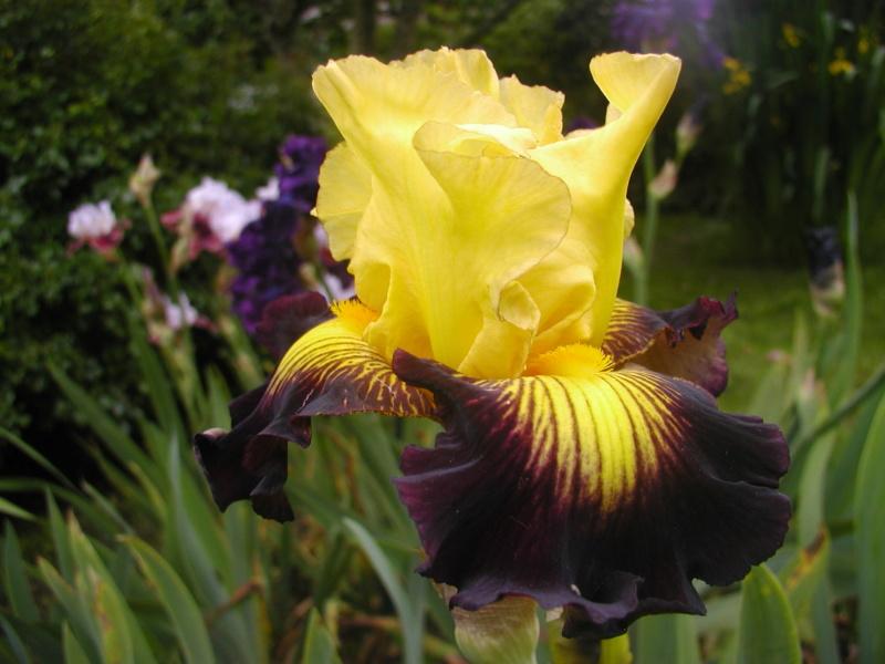 votre plus bel iris - Page 2 Snap10