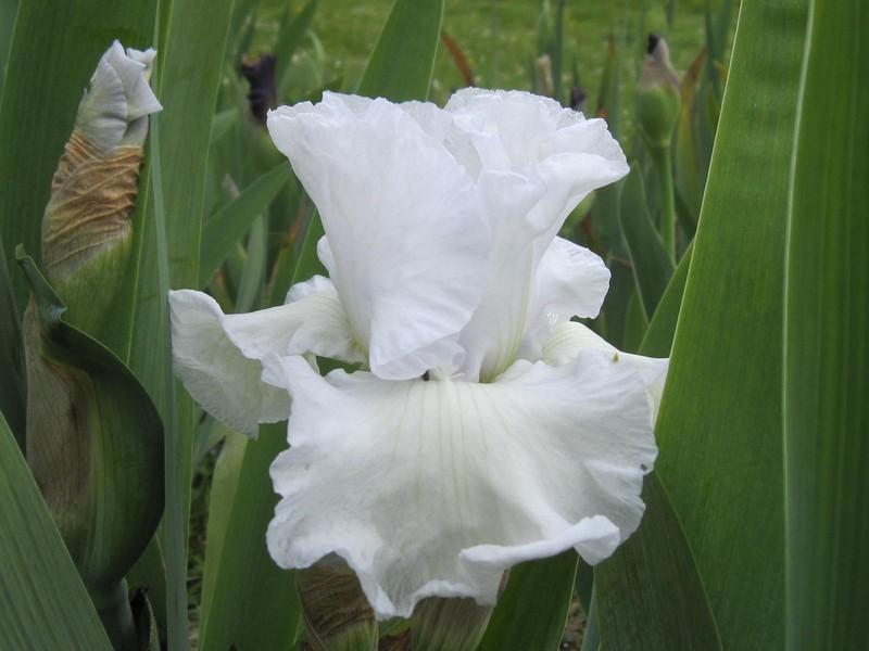 Iris blanc Weisse10