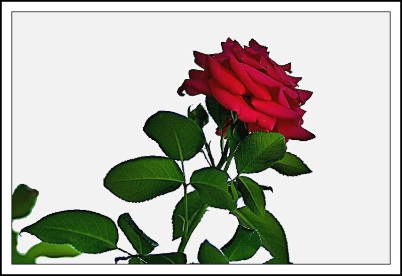 dans le jardin de ma voisine il y a aussi des fleurs Rose10