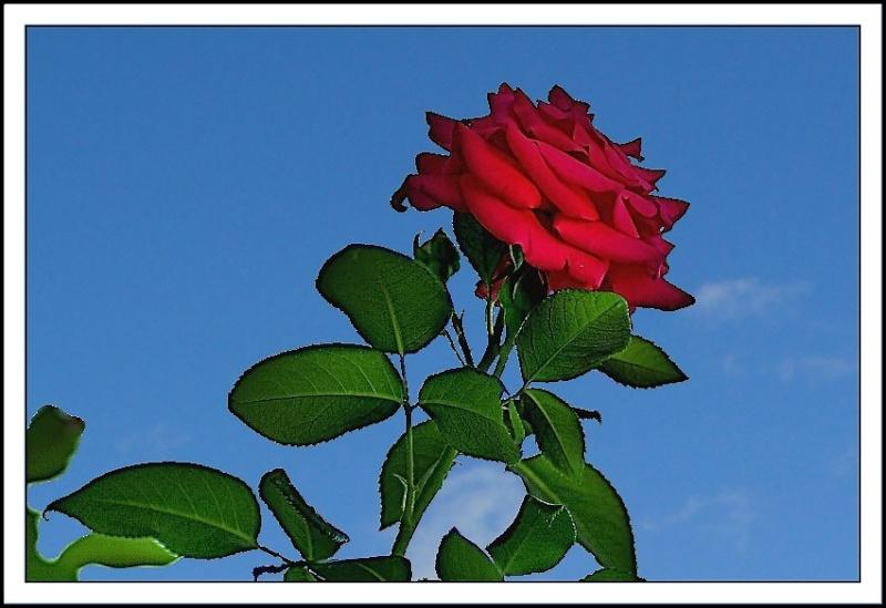 dans le jardin de ma voisine il y a aussi des fleurs Rose210