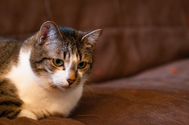 Tristam, jeune et gentil chat à Limoges Trist310