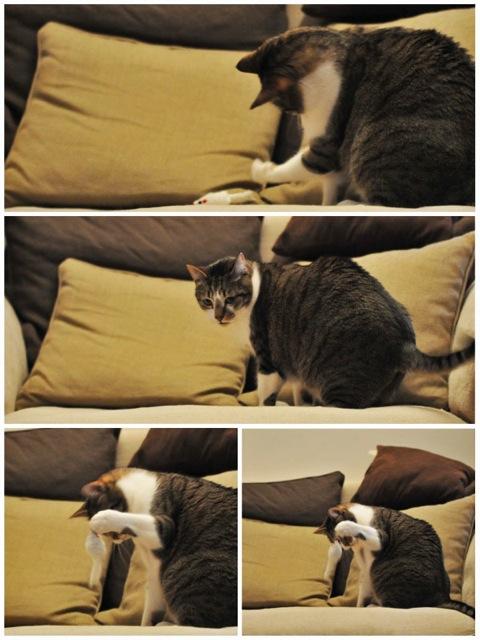 Tristam, jeune et gentil chat à Limoges Trista10