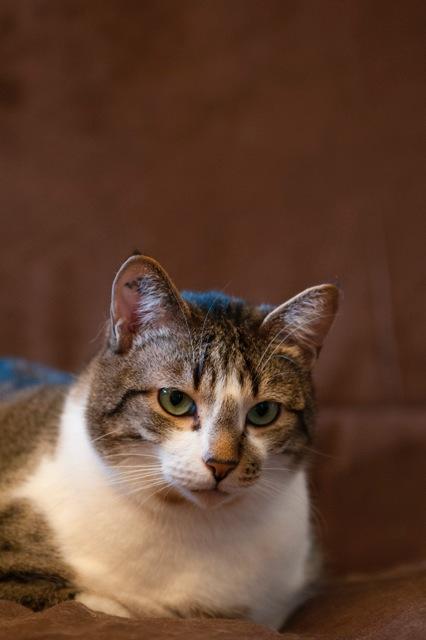 Tristam, jeune et gentil chat à Limoges Tristo10