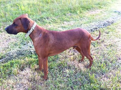 sauvetage en cours, Lena, chienne malade trouvée au bord de la route, Murcia Espagne. janvier 2015. 1_pepi10