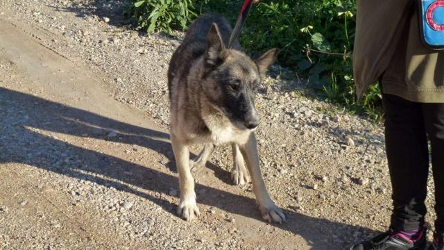 sauvetage en cours, Lena, chienne malade trouvée au bord de la route, Murcia Espagne. janvier 2015. P1090013