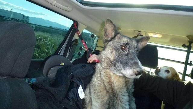 sauvetage en cours, Lena, chienne malade trouvée au bord de la route, Murcia Espagne. janvier 2015. P1090015