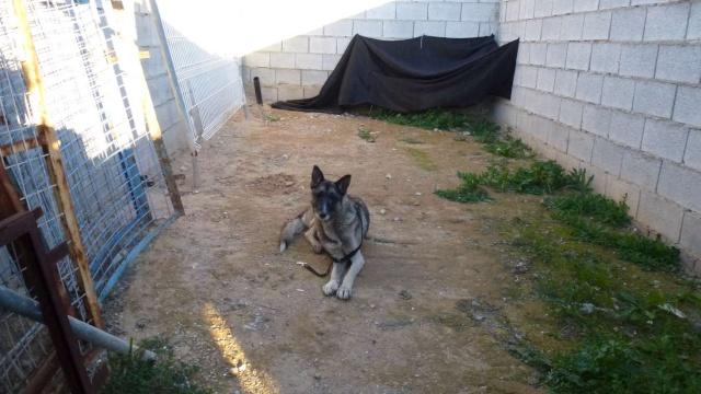 sauvetage en cours, Lena, chienne malade trouvée au bord de la route, Murcia Espagne. janvier 2015. P1090016