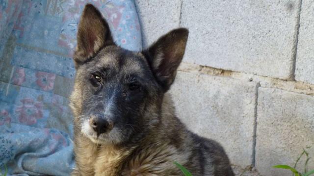 sauvetage en cours, Lena, chienne malade trouvée au bord de la route, Murcia Espagne. janvier 2015. P1090018