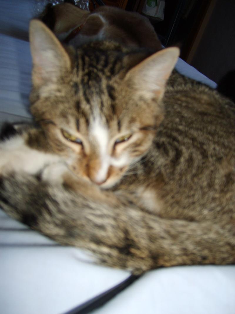 Hadès, chaton tigré et blanc né le 11/05/2012  par NADINE (36) S6000012