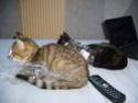 Hadès, chaton tigré et blanc né le 11/05/2012  par NADINE (36) S6000010