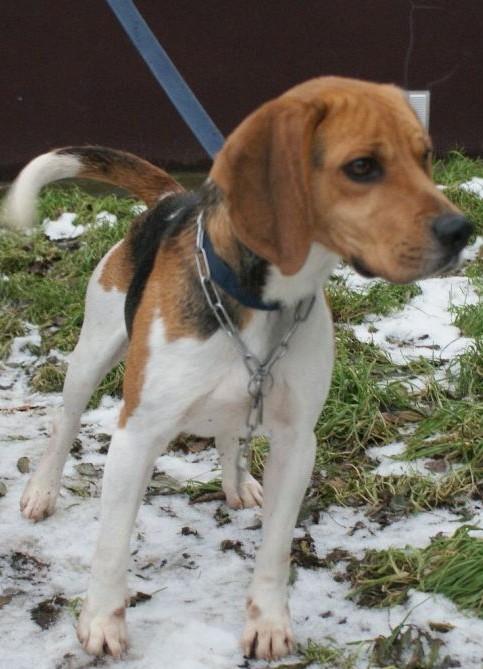 COOPER, beagle mâle, 3 ans - LPA de LILLE (59) - Page 2 Beagle10
