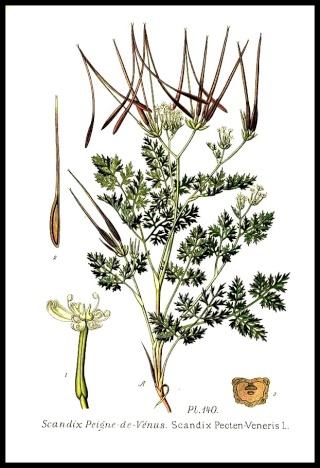 Scandix pecten-veneris - peigne de Vénus 140_sc10