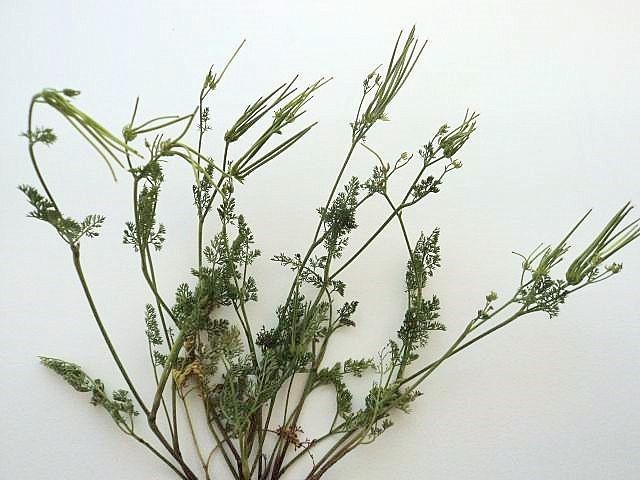 Scandix pecten-veneris - peigne de Vénus Scandi11