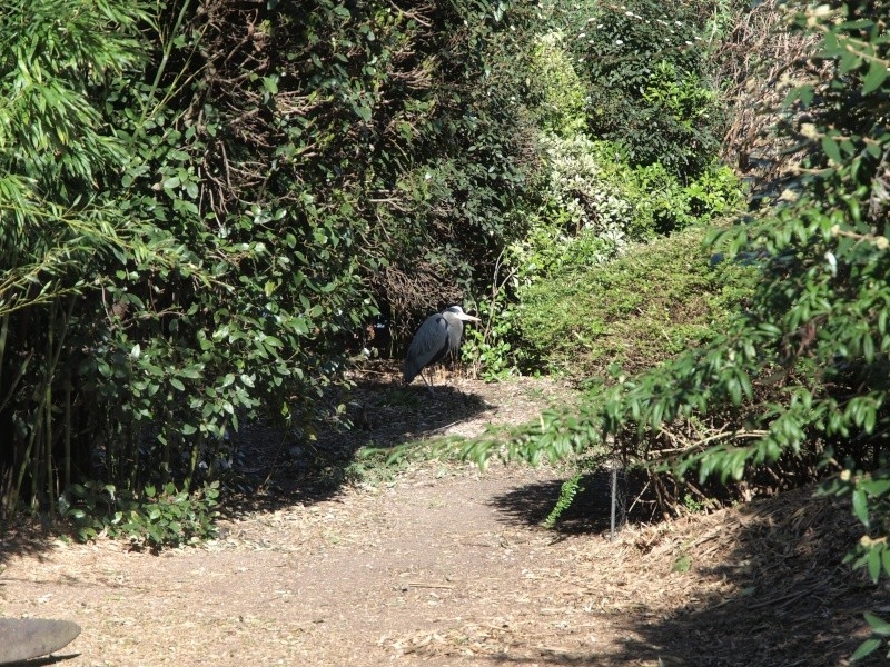 Heron ( Parc Montsouris) Heron_10