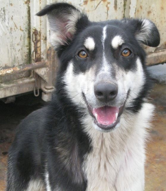 Wespa, Husky x Berger 4 ans (f) REFU82 Adopter 10153210