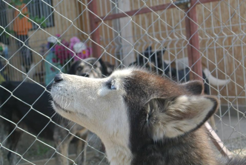 LUNA Husky 4/5 ANS pas ok chien URGENCE ROUMANIE  ADOPTEE 10169410