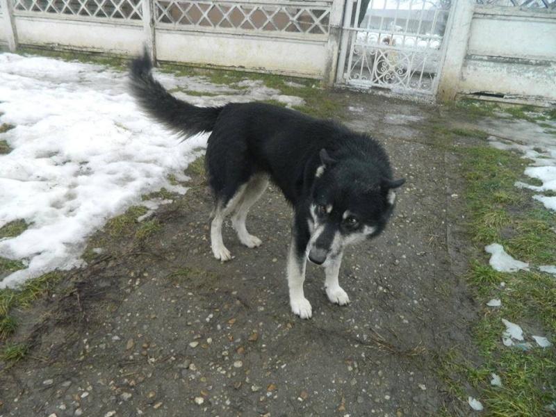 OURAL x  husky (m) 3 ans  ok congénères et chats ROUMANIE 10264710
